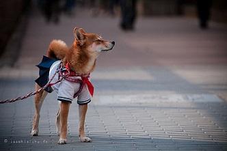 tokyo ohanami sakura giappone cagnolino