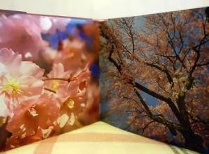 ciliegi in fiore jake rajs sakura