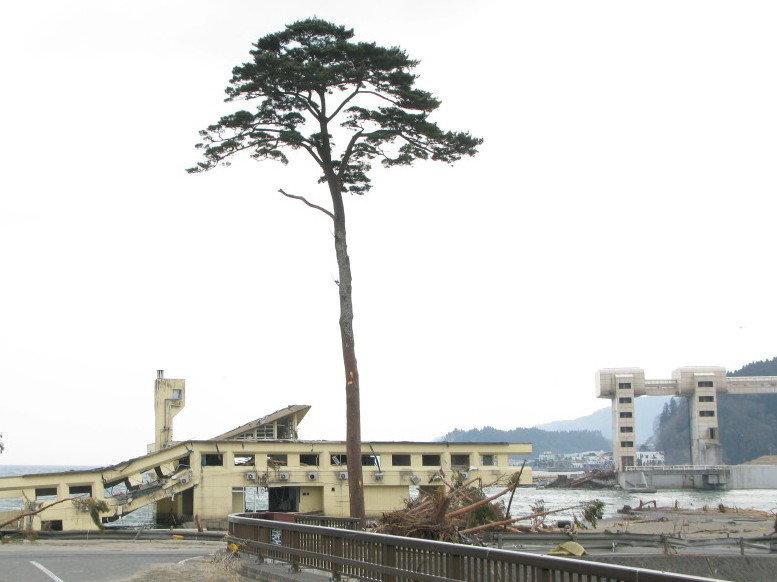 Pino a Rikuzentakata, sopravvissuto al terremoto dell'11 marzo 2011