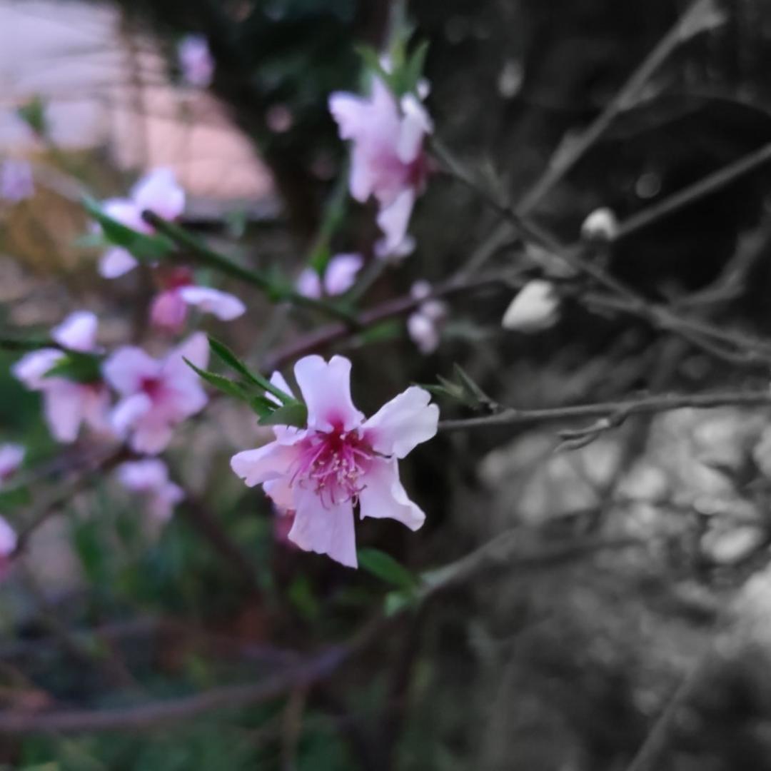 I sakura in un tanka di Akiko Baba